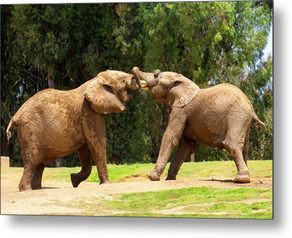 Elephants At Play 2 Metal Print