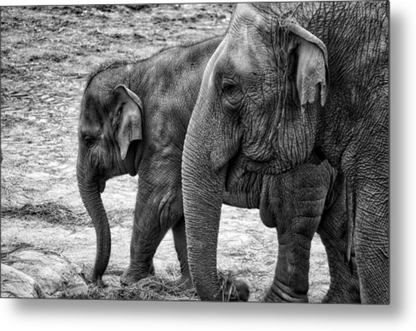Elephants Bw Metal Print