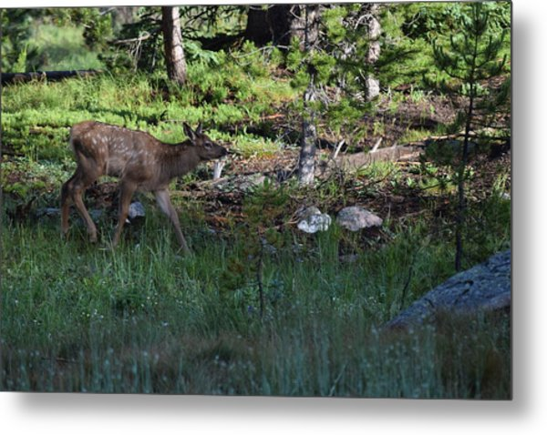 Baby Elk Rmnp Co Metal Print