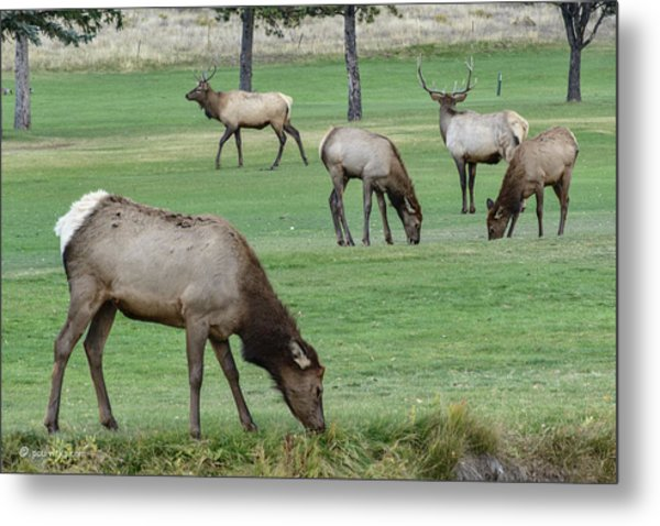 Elk On Golf Course Estes Park Colorado Metal Print