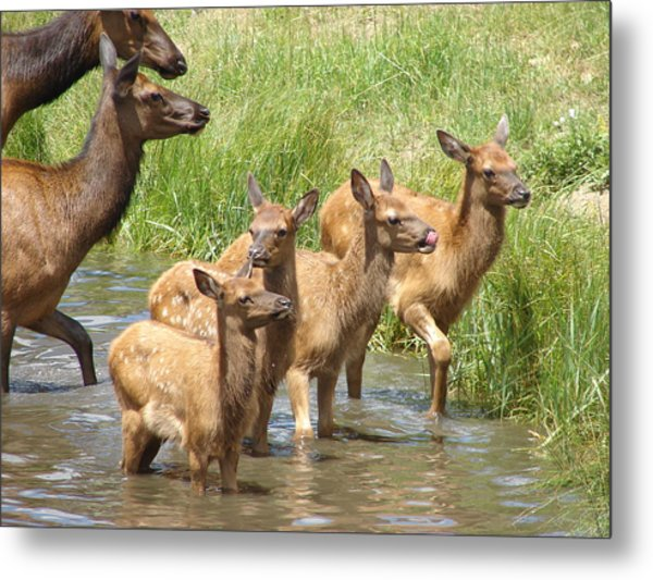 Elk Water Babies In Evergreen Colorado Metal Print