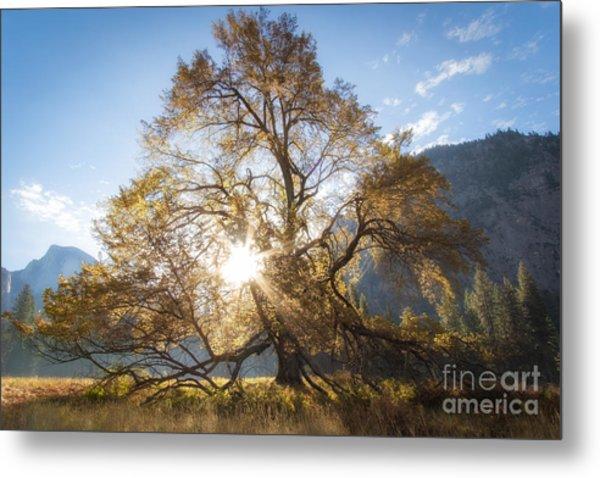 Elm Tree  Metal Print