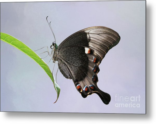 Emerald Peacock Swallowtail Butterfly V2 Metal Print
