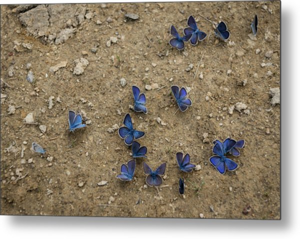 Enchanting Butterflies - Soft Blue Sapphires On The Ground Metal Print