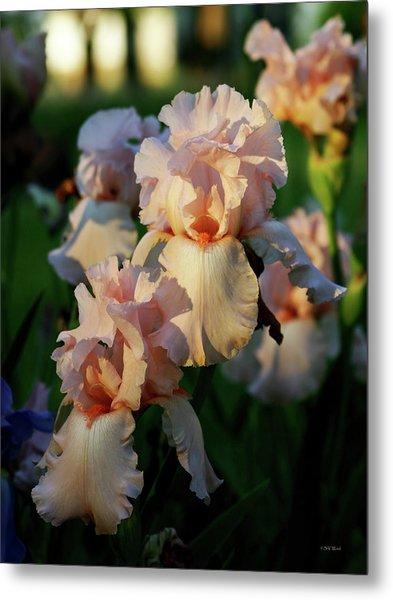 End Of Day Pink Irises 6702 H_2 Metal Print