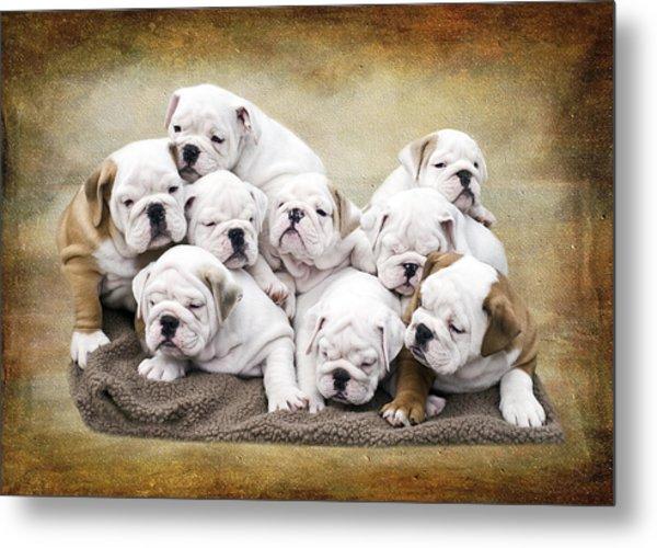 English Bulldog Pups Metal Print