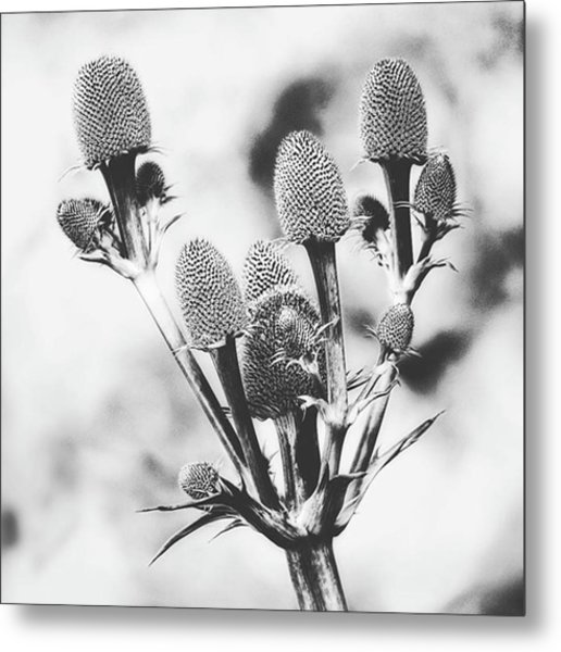 Eryngium #flower #flowers Metal Print