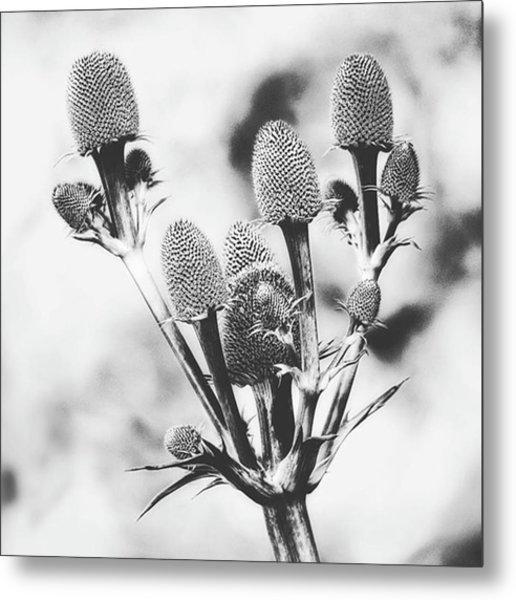 Eryngium #flower #flowers Metal Print
