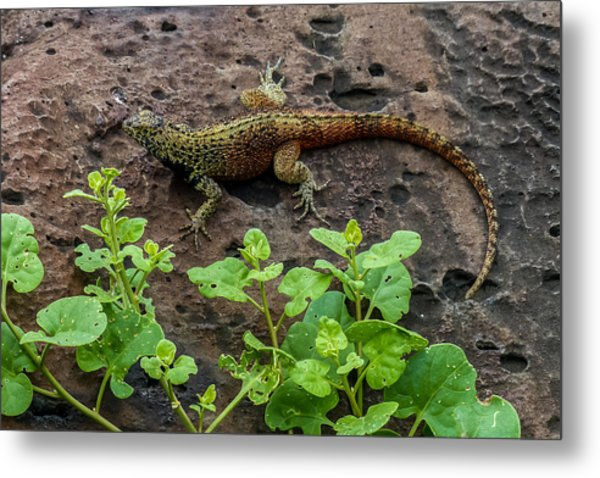 Espanola Lava Lizard Metal Print by Harry Strharsky