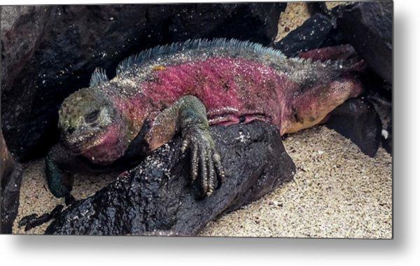 Espanola Marine Iguana Metal Print by Harry Strharsky