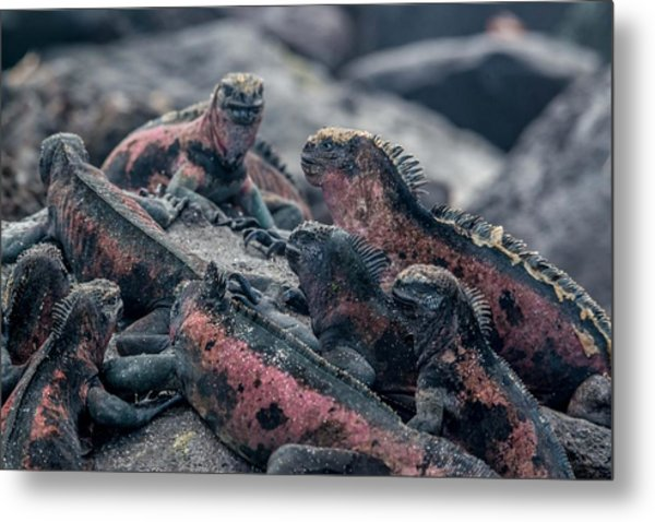 Espanola Marine Iguanas Metal Print by Harry Strharsky