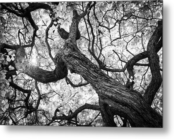 Ethereal Maple Metal Print
