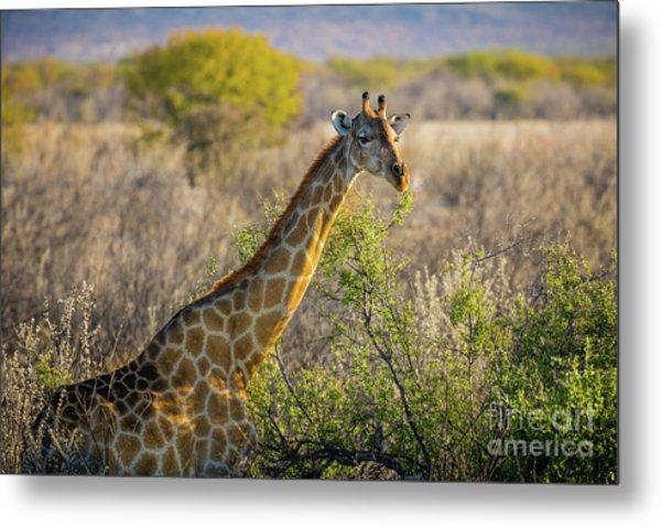 Etosha Giraffe Metal Print