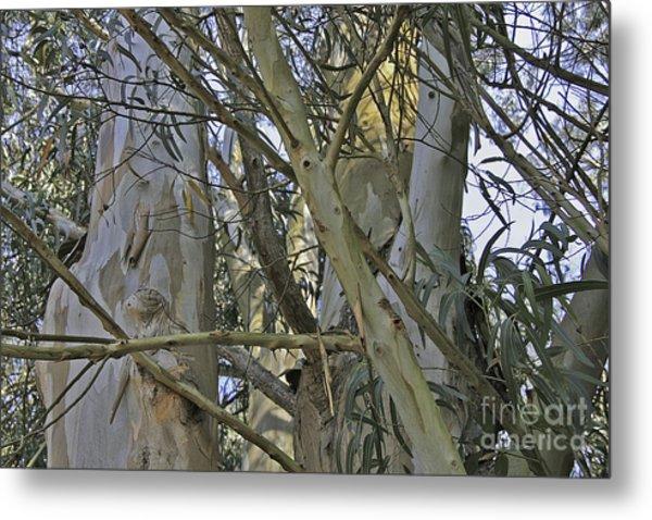 Eucalyptus Study Metal Print