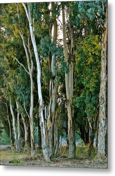 Eucalyptus Trees Metal Print
