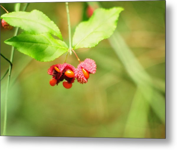 Euonymus Americanus  American Strawberry Bush Metal Print
