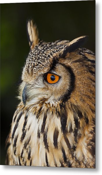 Eurasian Eagle-owl Bubo Bubo Metal Print