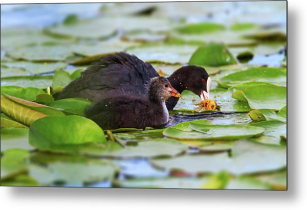 Eurasian Or Common Coot, Fulicula Atra, Duck And Duckling Metal Print