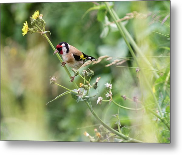 European Goldfinch Perched On Flower Stem B Metal Print