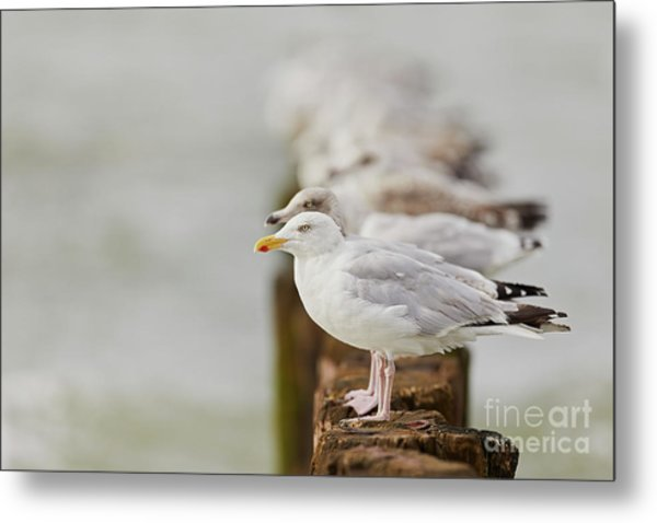 European Herring Gulls In A Row Fading In The Background Metal Print