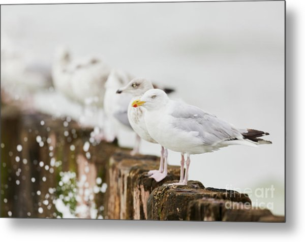 European Herring Gulls In A Row  Metal Print