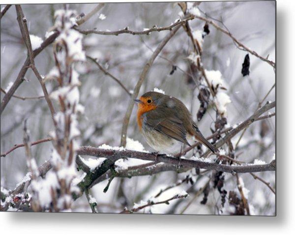 European Robin In The Snow At Christmas Metal Print