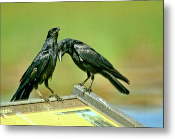 Even Crows Need Some Lovin Metal Print