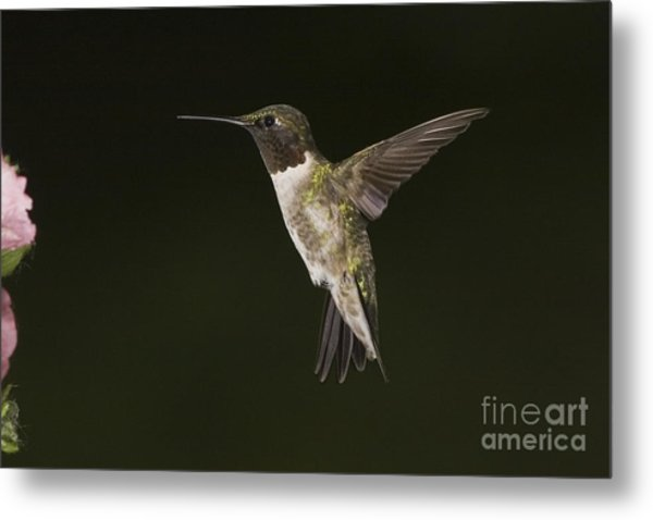 Evening Hummer Metal Print by Michael Greiner