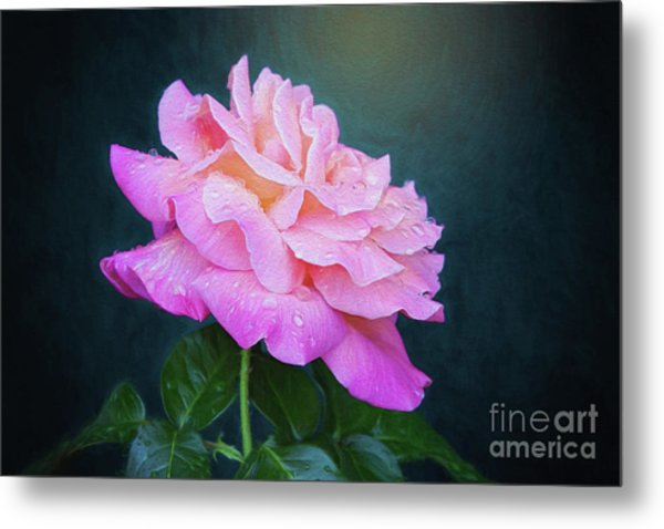 Evening Rose Metal Print