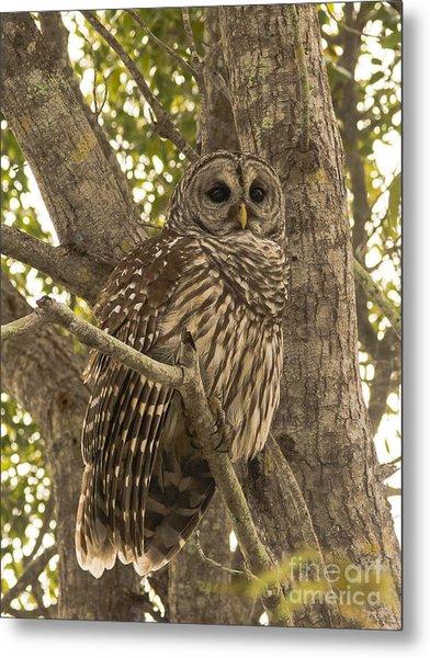 Everglades Owl  Metal Print