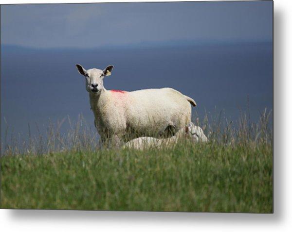 Ewe Guarding Lamb Metal Print