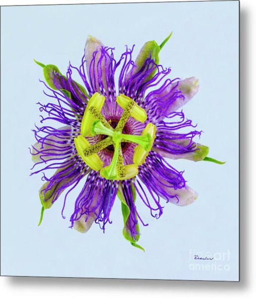 Expressive Yellow Green And Violet Passion Flower 50674b Metal Print