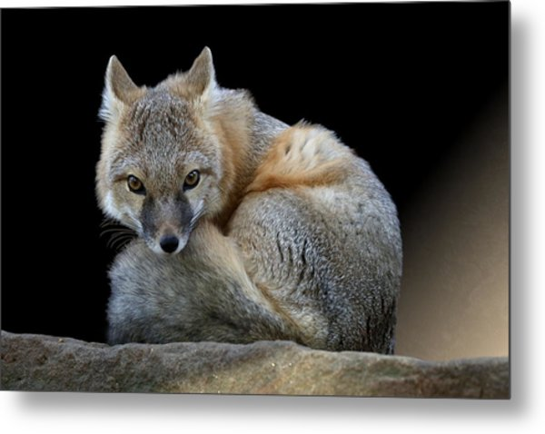 Eyes Of The Fox Metal Print