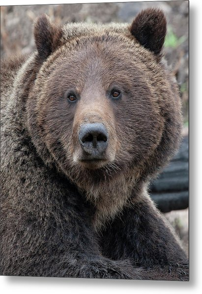 Face Of The Grizzly Metal Print