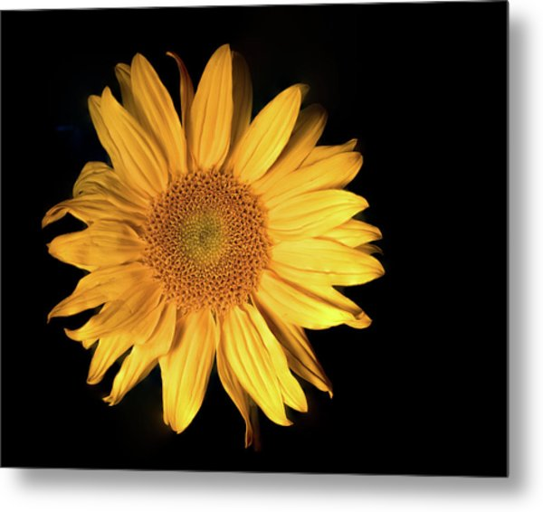 Metal Print featuring the photograph Fading Sunflower by Philip Rodgers