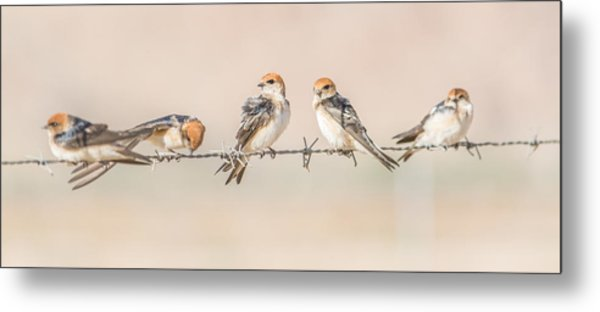 Fairy Martins Metal Print