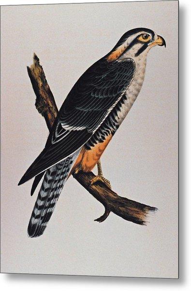 Falcon Aplomado Falcon Metal Print