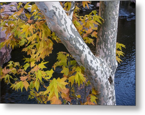 Fall Colors At Slide Rock Arizona- Tree Bark Metal Print