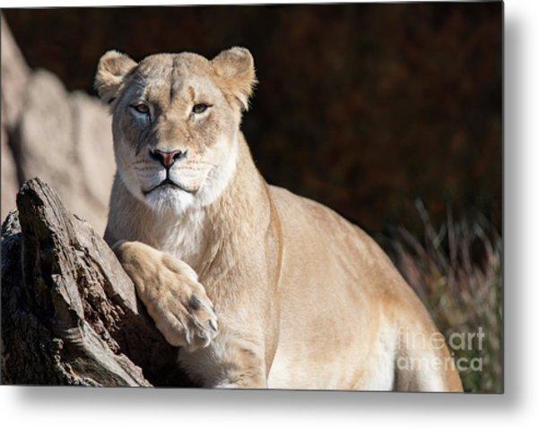 Fall Lioness Metal Print