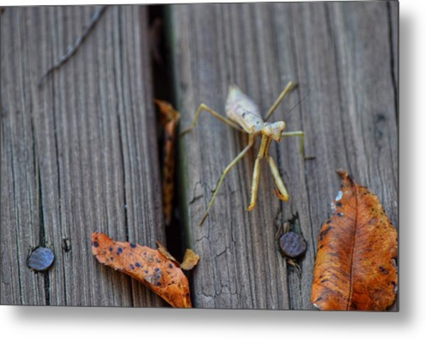 Fall Mantis  Metal Print