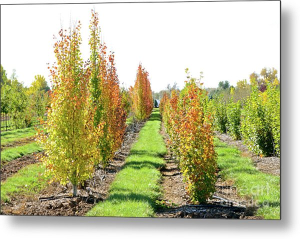 Fall On The Tree Farm Metal Print