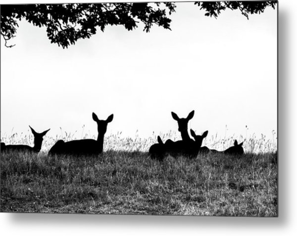 fallow Deer Metal Print by Yorkshire In Colour