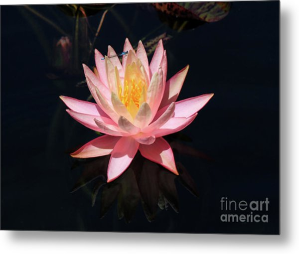 Familiar Bluet Damselfly And Lotus  Metal Print