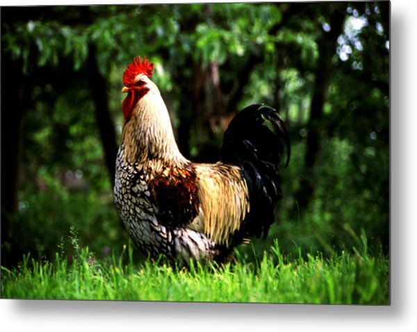 Fancy Rooster Metal Print by Roger Soule