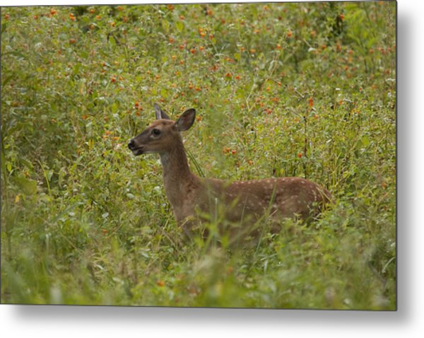 Fawn In A Field Of Flowers Metal Print by Tina B Hamilton
