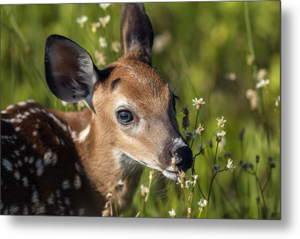 Fawn In Wildflowers Metal Print