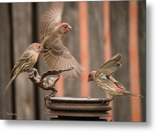 Feeding Finches Metal Print