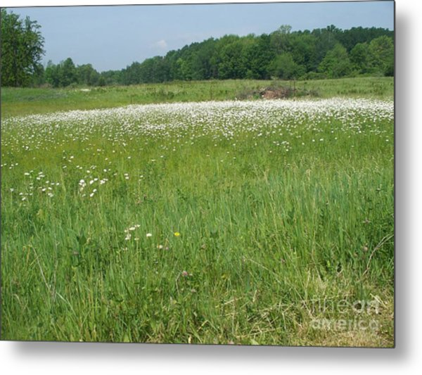 Feild Of White Metal Print by Sacred  Muse