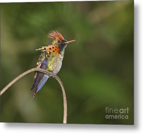 Feisty Little Fellow..  Metal Print
