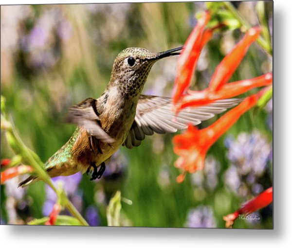 Female Broadtail Humingbird Metal Print
